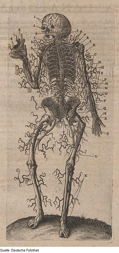 Biologie & Anatomie & Mensch, via Wikimedia commons