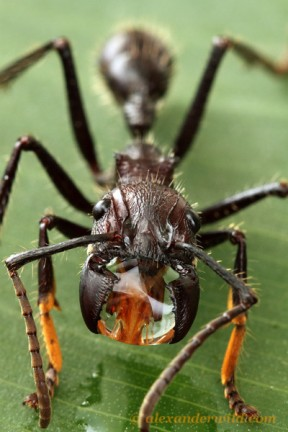 A bullet ant with a bubble of sugar solution in its mandibles. Image by Alex Wild