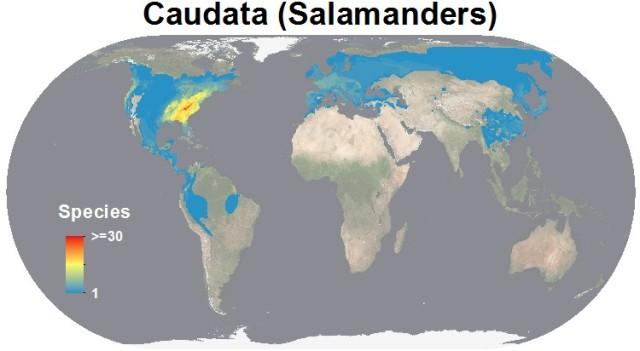 salamander diversity