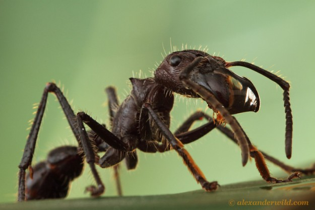 The bullet ant Paraponera clavata. Image by Alex Wild.