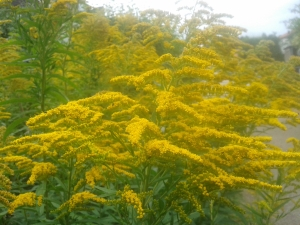 Goldenrod was a sure sign of the late summer growing up and now thanks to gardeners it seems to be a part of the Swedish landscape as well.