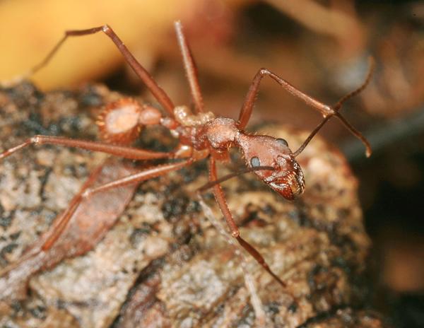 Aphaenogaster-araneoides5.jpg